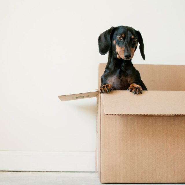 Dog in Moving Box Senior Communities Floridas Best Movers